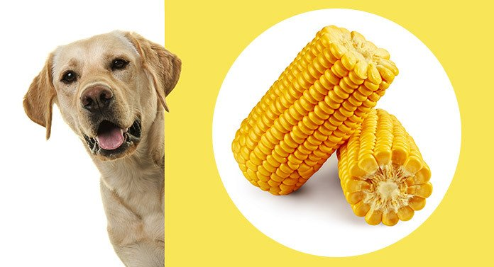 Can Dogs Eat Corn?